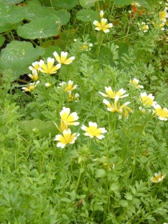 ~Poached Egg Plants attract helpful insects~